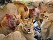 aslanlar-yemekte